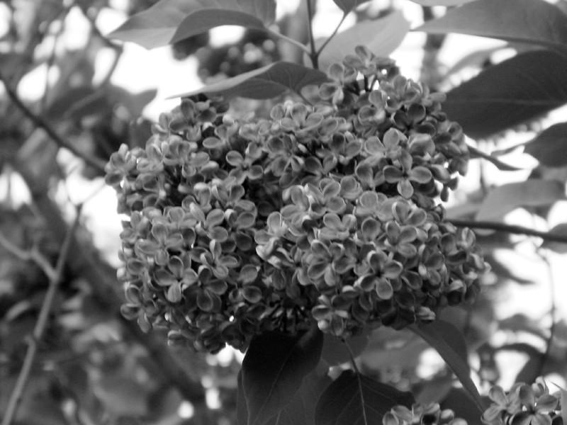 Black and White photos of Lilacs by Deborah Carney.--sarah-sands-DSC08880