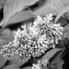 Black and White photos of Lilacs by Deborah Carney.--hiawatha-DSC08830