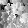 Black and White photos of Lilacs by Deborah Carney.--rochester-DSC08645