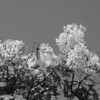 Black and White photos of Lilacs by Deborah Carney.DSC08191