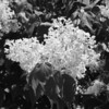 Black and White photos of Lilacs by Deborah Carney.DSC08251
