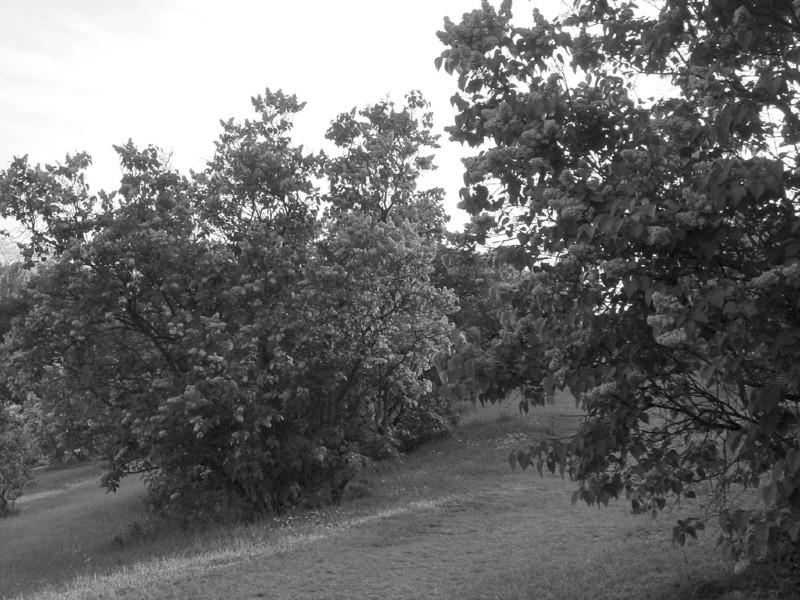 Black and White photos of Lilacs by Deborah Carney.--DSC08593