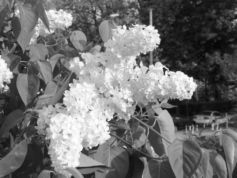 Black and White photos of Lilacs by Deborah Carney.--primrose-yellow-DSC08607
