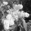 Black and White photos of Lilacs by Deborah Carney.--primrose-yellow-DSC08607