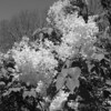 Black and White photos of Lilacs by Deborah Carney.DSC08184