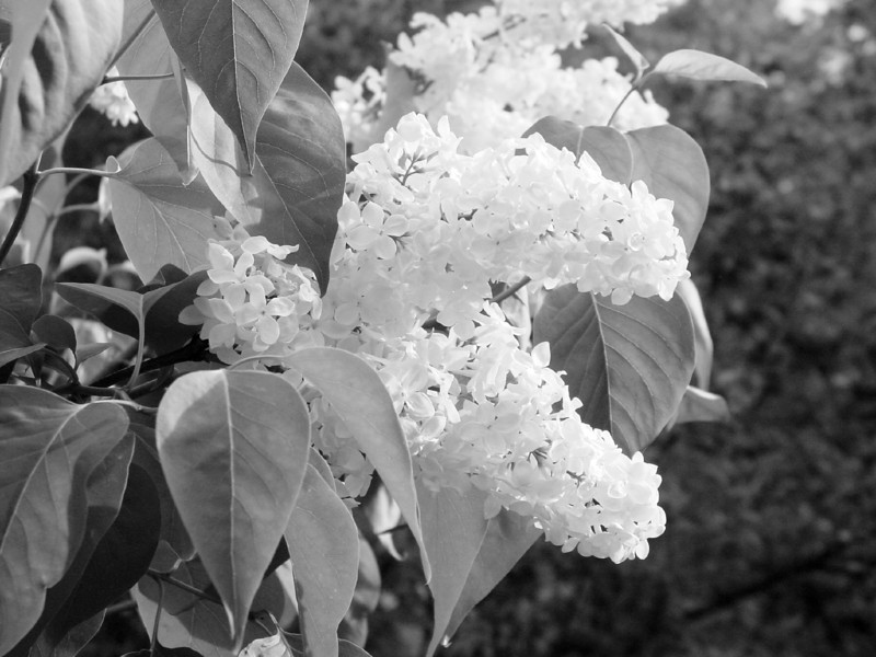 Black and White photos of Lilacs by Deborah Carney.--primrose-yellow-DSC08615