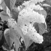 Black and White photos of Lilacs by Deborah Carney.--primrose-yellow-DSC08615