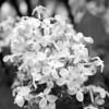 Black and White photos of Lilacs by Deborah Carney.--nokomis-DSC08807