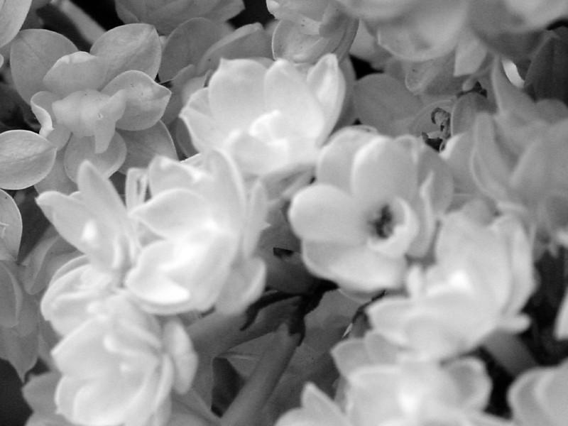 Black and White photos of Lilacs by Deborah Carney.--victor-lemoine-DSC08778
