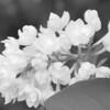 Black and White photos of Lilacs by Deborah Carney.--krassavica-moskvy-DSC08922