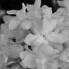 Black and White photos of Lilacs by Deborah Carney.--dr-maillot-DSC08714