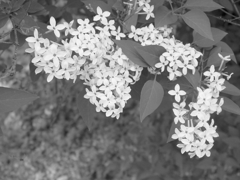 Black and White photos of Lilacs by Deborah Carney.--chenensis-bicolor-DSC08817