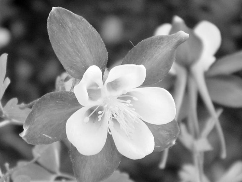 Black and White photos of Lilacs by Deborah Carney.--columbine-DSC08772