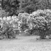 Black and White photos of Lilacs by Deborah Carney.--highland-DSC08959