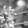 Black and White photos of Lilacs by Deborah Carney.--lilacs-DSC08939