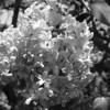 Black and White photos of Lilacs by Deborah Carney.DSC08270