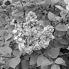 Black and White photos of Lilacs by Deborah Carney.--taras-bulba-DSC08872