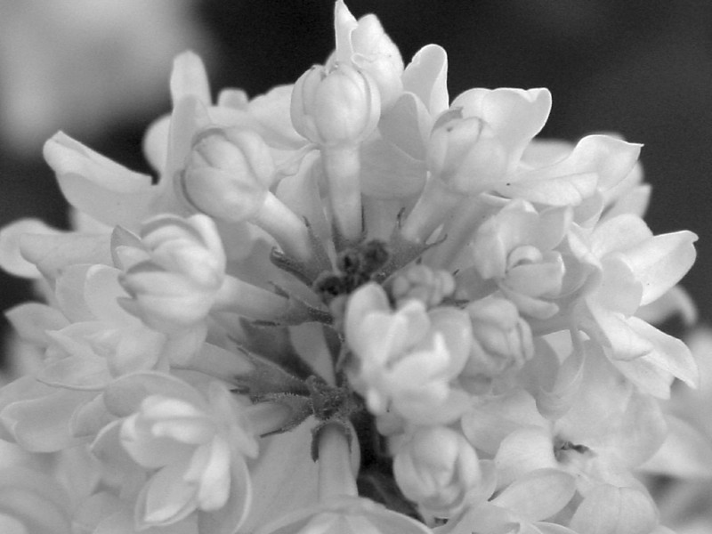 Black and White photos of Lilacs by Deborah Carney.--dr-maillot-DSC08713