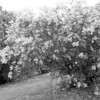 Black and White photos of Lilacs by Deborah Carney.--DSC08604
