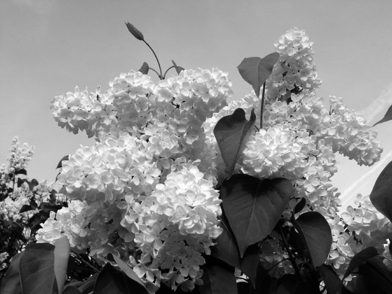 Black and White photos of Lilacs by Deborah Carney.--DSC08528