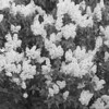 Black and White photos of Lilacs by Deborah Carney.--rochester-DSC08648