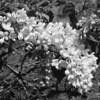 Black and White photos of Lilacs by Deborah Carney.DSC08179