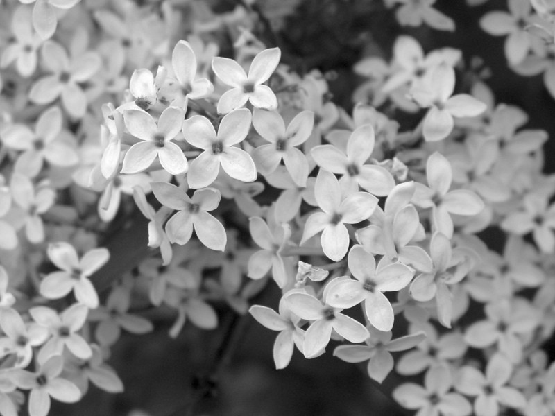 Black and White photos of Lilacs by Deborah Carney.--chenensis-bicolor-DSC08816