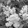 Black and White photos of Lilacs by Deborah Carney.--lilacs-DSC08936
