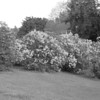 Black and White photos of Lilacs by Deborah Carney.--DSC08532