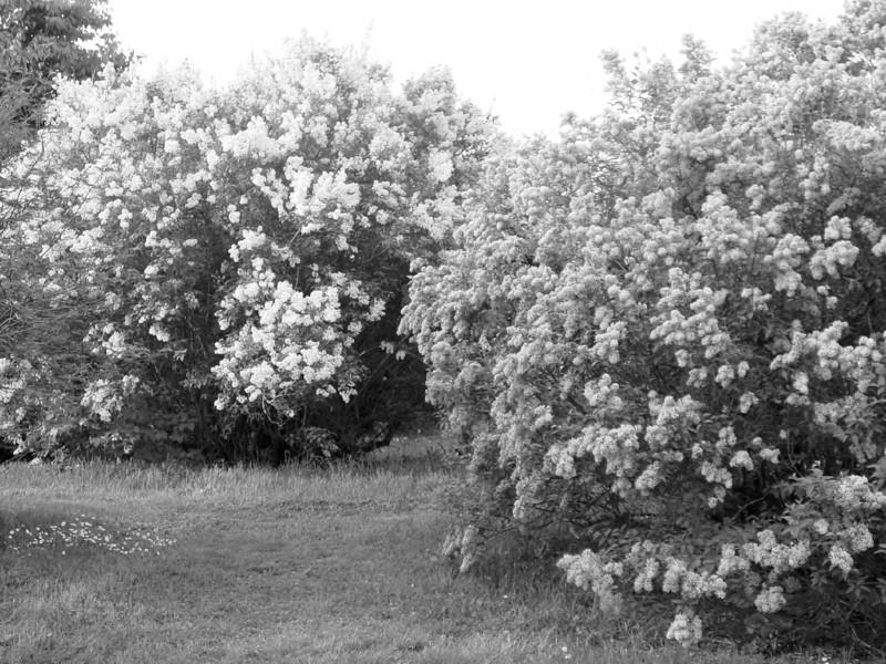 Black and White photos of Lilacs by Deborah Carney.--DSC08539