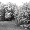 Black and White photos of Lilacs by Deborah Carney.--DSC08539