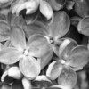 Black and White photos of Lilacs by Deborah Carney.--znamya-lenina-DSC08916