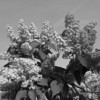 Black and White photos of Lilacs by Deborah Carney.--DSC08499