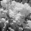 Black and White photos of Lilacs by Deborah Carney.DSC08176