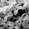 Black and White photos of Lilacs by Deborah Carney.--syringa-laciata-DSC08548