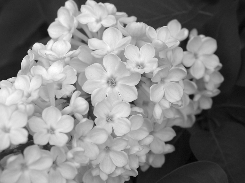 Black and White photos of Lilacs by Deborah Carney.--rochester-DSC08647