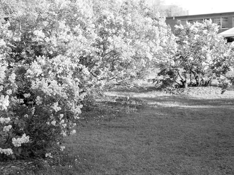 Black and White photos of Lilacs by Deborah Carney.--highland-pk-DSC08707