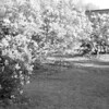 Black and White photos of Lilacs by Deborah Carney.--highland-pk-DSC08707