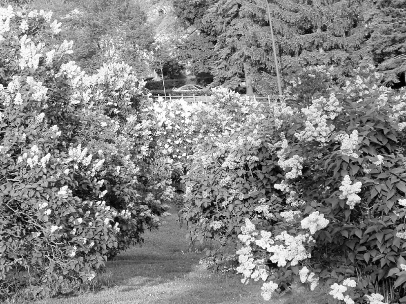 Black and White photos of Lilacs by Deborah Carney.--DSC08571