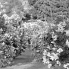 Black and White photos of Lilacs by Deborah Carney.--DSC08571