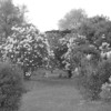 Black and White photos of Lilacs by Deborah Carney.--DSC08673