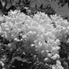 Black and White photos of Lilacs by Deborah Carney.DSC08180