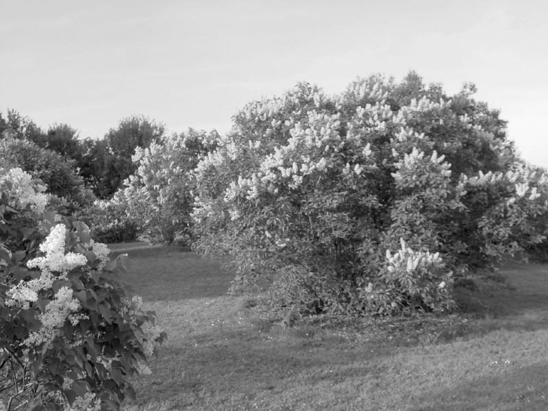 Black and White photos of Lilacs by Deborah Carney.--DSC08683