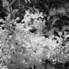 Black and White photos of Lilacs by Deborah Carney.DSC08189