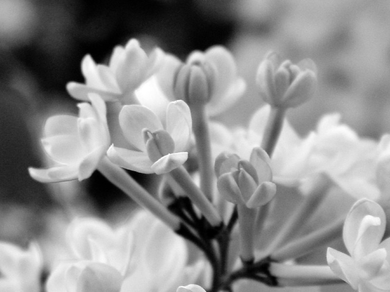 Black and White photos of Lilacs by Deborah Carney.--anabel-DSC08666