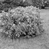 Black and White photos of Lilacs by Deborah Carney.--lilacs-DSC08930