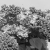 Black and White photos of Lilacs by Deborah Carney.--DSC08632