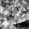 Black and White photos of Lilacs by Deborah Carney.--taras-bulba-DSC08866