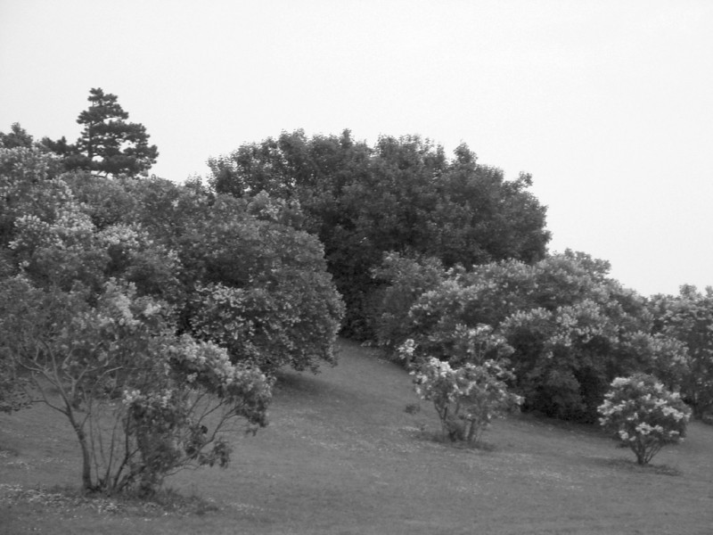 Black and White photos of Lilacs by Deborah Carney.--highland-DSC08960