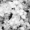 Black and White photos of Lilacs by Deborah Carney.--victor-lemoine-DSC08779